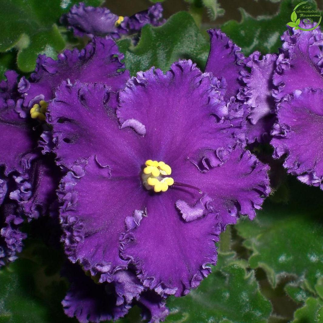 Фиалка фото цветов с названиями