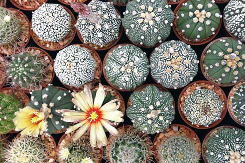 Уход и пересадка кактусов